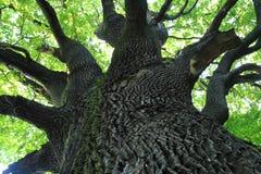 Старое дерево дуба Стоковые Изображения