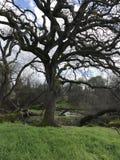 Старое дерево дуба Стоковое фото RF