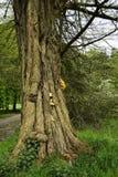 Старое дерево Стоковые Изображения RF