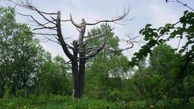 Старое дерево sakhalin видеоматериал