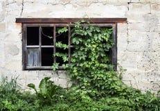 Старое деревянное окно с зеленым плющом Стоковая Фотография