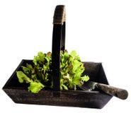 Старое деревянное Trug заполненное с салатом Стоковая Фотография