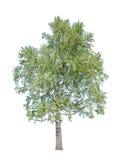 Старое зеленое дерево березы на белизне Стоковая Фотография