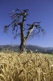 Старое и сухое дерево Стоковое Фото