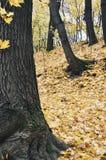 Старое коричневое дерево в желтом парке осени Стоковое Фото