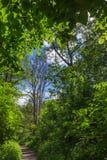 Старое мертвое дерево в зеленом лесе стоковое изображение rf