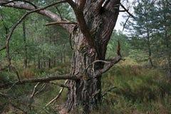 Старое мертвое дерево в тропе леса Фонтенбло стоковая фотография rf