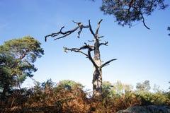 Старое мертвое дерево в тропе леса Фонтенбло стоковые фото