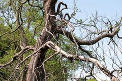 Старое мертвое дерево которое начинает полагается над под углом должным к неровному весу стоковые фотографии rf