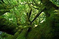 Старое мшистое дерево Стоковое Изображение RF