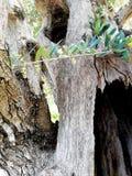 Старое оливковое дерево стоковое изображение rf