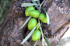 Старое оливковое дерево с плодоовощами Стоковая Фотография