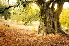 Старое оливковое дерево Стоковые Фото