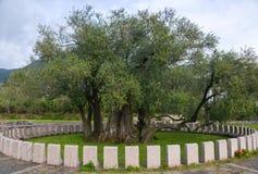 старое оливковое дерево Стоковая Фотография