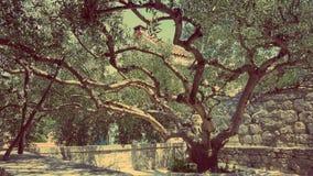 старое оливковое дерево Стоковое фото RF