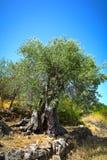 старое оливковое дерево стоковая фотография rf