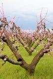старое персиковое дерево стоковая фотография rf