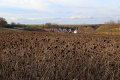 Старое поле солнцецвета стоковые фото