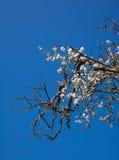 Старое полу-мертвое миндальное дерево с одной цветя ветвью Стоковые Фотографии RF