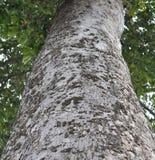 Старое резиновое дерево в Таиланде Стоковое Изображение RF