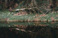 Старое сломанное дерево и свое отражение в реке Стоковое фото RF