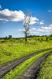 Старое сухое дерево березы Стоковые Изображения