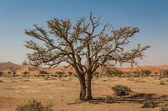 Старое сухое дерево в Sossusvlei, Намибии стоковые изображения