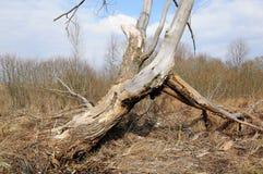 Старое сухое сломанное дерево Стоковое фото RF
