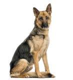 Старое тощее усаживание собаки немецкой овчарки, смотря камеру Стоковые Изображения