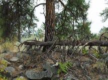 Старое упаденное дерево в лесе Стоковое Изображение RF