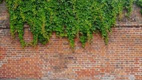Старое Brickwall и плющ Стоковые Фотографии RF