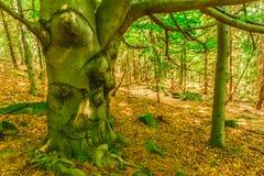 Старое gnarled дерево растя в лесе Стоковое Изображение