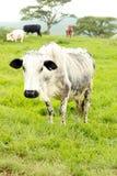 Старое Nguni Cow она ее табун Стоковые Изображения