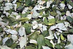 стародедовская микстура листьев коки Боливии священнейшая Стоковое Изображение RF