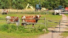 стародедовские созданные традиции туристов соотечественника молочной фермы специально работают Коровы с большим выменем Стоковые Изображения RF