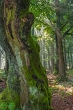 Стародедовское дерево Стоковые Фото