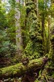 Стародедовское дерево Стоковые Изображения