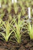 старты greenhou bromeliad Стоковые Фотографии RF