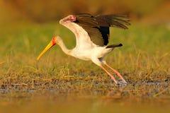 Старт аиста от реки Желт-представленный счет аист, Mycteria ibis, прогулка в воде, Танзании Река с птицей в Африке Strok в мамах  Стоковое Изображение