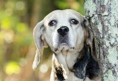 Старшая гончая собака звероловства кролика бигля Стоковая Фотография