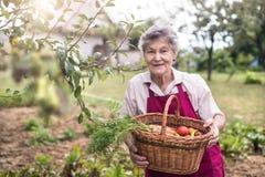 Старшая женщина в ее саде жать овощи лето сада Стоковые Изображения RF