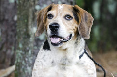 Старшая собака бигля Стоковое Фото