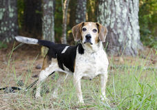 Старшая собака бигля Стоковое фото RF