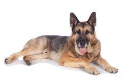 Старшая собака немецкой овчарки Стоковые Фотографии RF