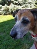 Старшая собака стоковое изображение
