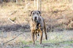 Старшая собака Retriever Лабрадора шоколада Стоковые Изображения