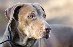 Старшая собака Retriever Лабрадора шоколада Стоковая Фотография RF