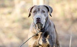 Старшая собака Retriever Лабрадора шоколада Стоковое Изображение
