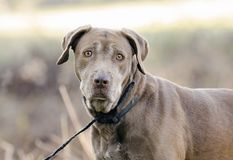 Старшая собака Retriever Лабрадора шоколада Стоковые Фото
