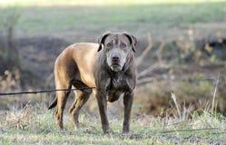Старшая собака Retriever Лабрадора шоколада Стоковые Изображения RF